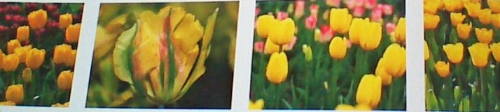 Yellow Tulip Varieties
