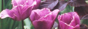Purple Tulip Variety